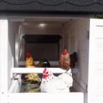 Kippen nachthok met zitstokken