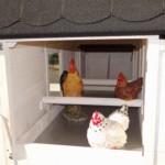Groot kippen nachthok met zitstokken