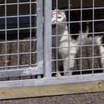 Kattenkennel voorzien van draadpanelen en afsluitlatten
