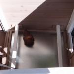 Nachthok van kippenhok met zitstokken voor de kippen