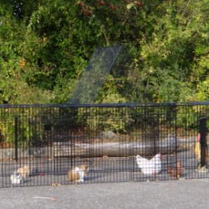Ren voor kippen
