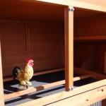 Nachthok kippen met zitstokken